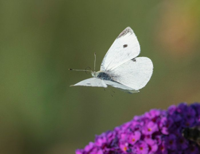 Nằm mộng thấy bướm bay trong vườn