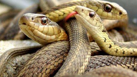 Mơ thấy 3 con rắn thì đánh số nào để trúng lớn?
