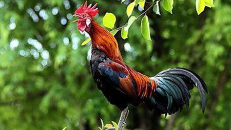 Mơ thấy con gà thì nên đánh con gì để trúng lớn?