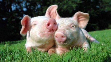 Mơ thấy con lợn đánh gì để thắng lớn?