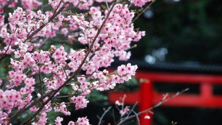 Nằm mơ thấy hoa đào mang điềm báo gì? Đánh con bao nhiêu trúng to?