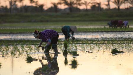 Nằm mơ thấy mẹ cấy lúa là điềm báo gì? Đánh con gì có khả năng thắng lớn?