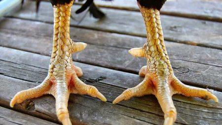 Khám phá một số cách xem chân gà đá chuẩn nhất