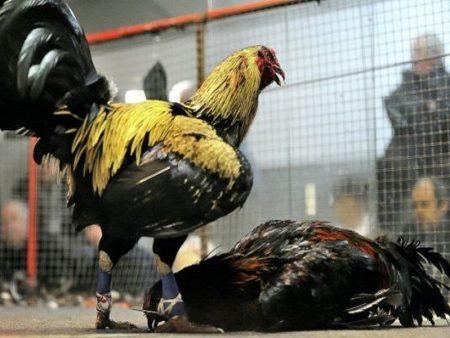 Đá gà Mỹ cựa dao là gì? Kinh nghiệm bắt kèo gà chọi hiệu quả