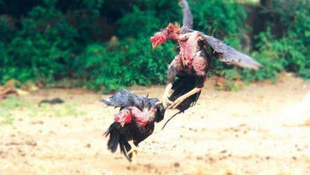 Đá gà miền Tây là gì? Những thông tin xung quanh đá gà miền Tây