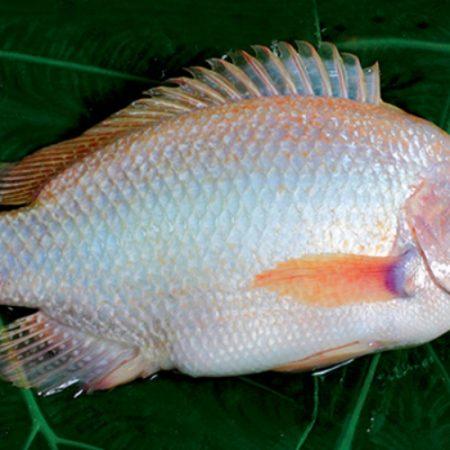 Giải mã giấc mơ thấy cá điêu hồng đánh con gì?