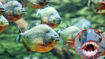 Mơ thấy cá hổ Piranha là điềm báo gì? Đánh con bao nhiêu trúng to?