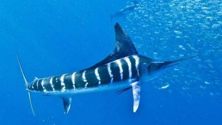 Giấc mơ thấy cá kiếm thể hiện điềm báo quan trọng gì?