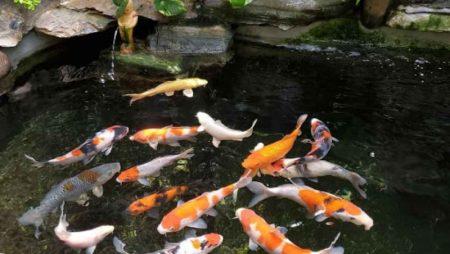 Nằm mơ thấy cá Koi nên đánh con gì để trúng lớn?