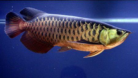 Mơ thấy cá rồng đầu tư cặp số nào để trúng to?