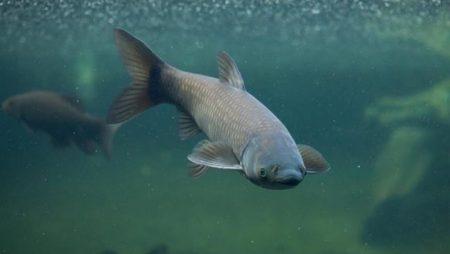 Nằm mơ thấy cá trắm cỏ mang đến ý nghĩa gì cho cuộc sống?