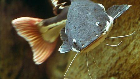 Ngủ mơ thấy cá trê lựa chọn con số nào chính xác?
