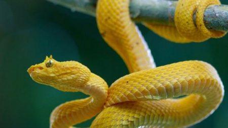 Mơ thấy rắn vàng giúp bạn trúng lớn